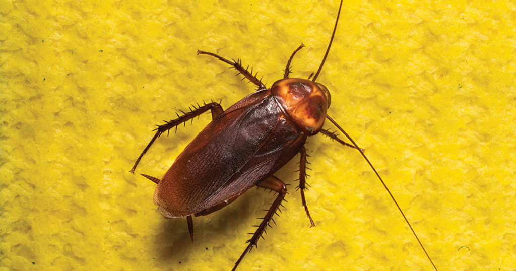 National Asthma Awareness Month: Cockroaches Can Be A Trigger