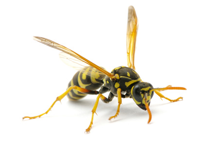 Bees and Wasps | Braman Pest Control