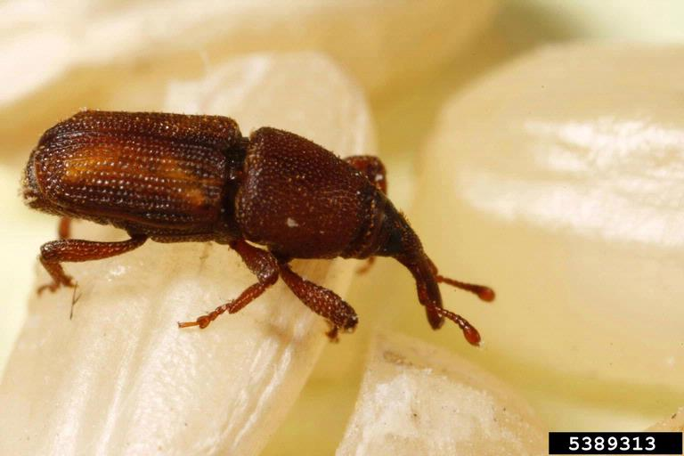 Image of rice weevil for blog about the risks of pests in manufacturing