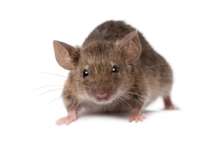 a winter pest invasion in the form of mice