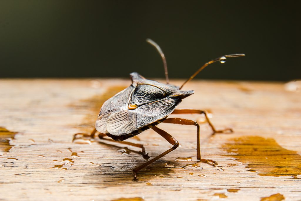 Stink bug Pest-Free Home this Winter