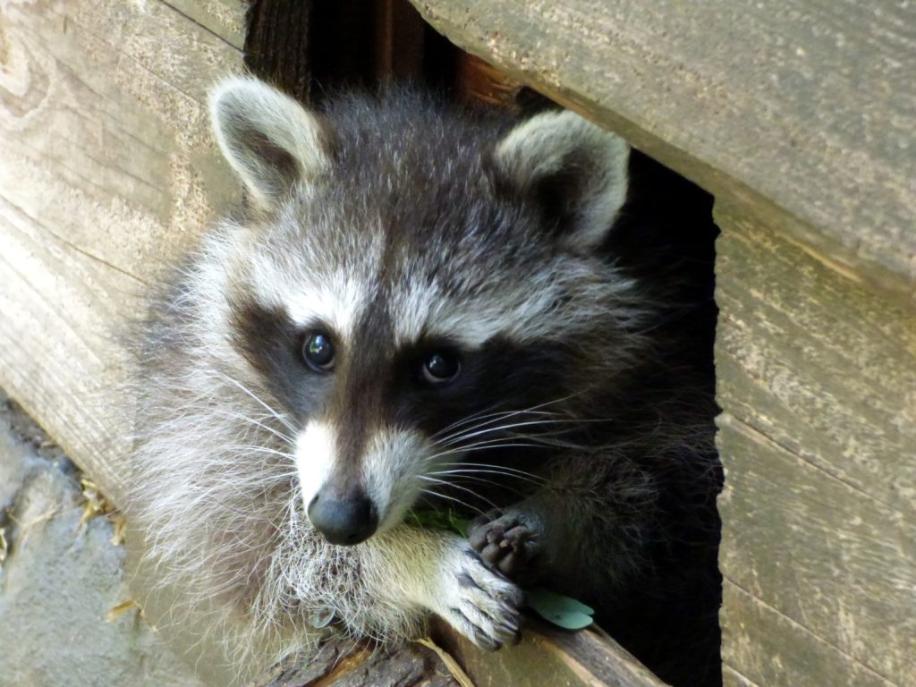 Raccoons can be nuisance winter wildlife